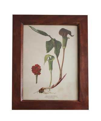 Vintage Botanical Print, Jack In The Pulpit - High Street Market
