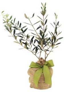 "10"" Olive Tree, Live - One Kings Lane"