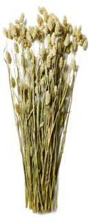 "16"" Phalaris Bunch, Dried - One Kings Lane"