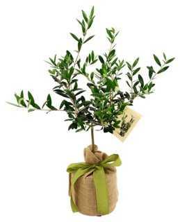 "10"" Olive Tree, Live - One Kings Lane"