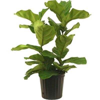 Ficus Pandurata Bush in Pot - Home Depot