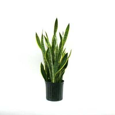 Sansevieria Laurentii in 8-3/4 in. Pot - Home Depot