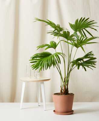 Chinese Fan Palm - Clay - Bloomscape