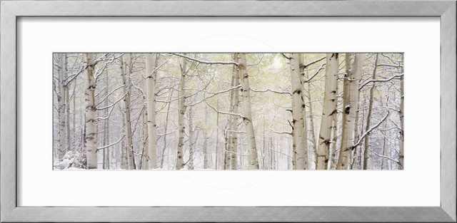 AUTUMN ASPENS WITH SNOW, COLORADO, USA - Frame Soho Silver Mat: Crisp - Bright White - art.com