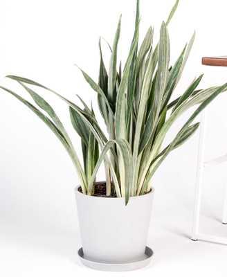 sansevieria sayuri - stone - Bloomscape