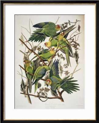 "Carolina Parakeet, from ""Birds of America,"" 1829 - art.com"