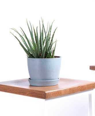 Hedgehog Aloe - Slate - Bloomscape