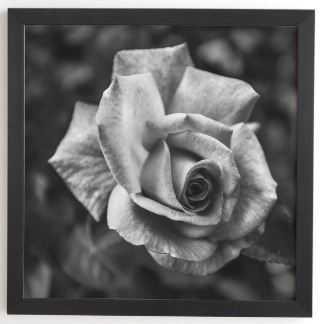 BLACK AND WHITE ROSE Black Framed Wall Art By Magda Opoka - 12 x 12 - Wander Print Co.