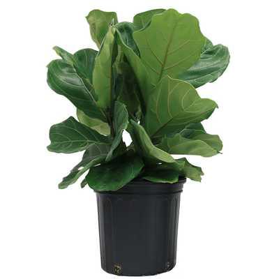 Ficus Lyrata, Fiddle-Leaf Fig Floor Plant in 9.25 in. Grower Pot - Home Depot
