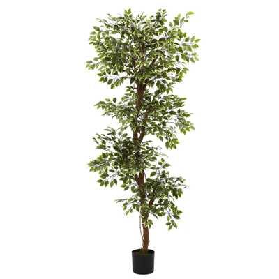 6' Variegated Ficus Tree - Fiddle + Bloom