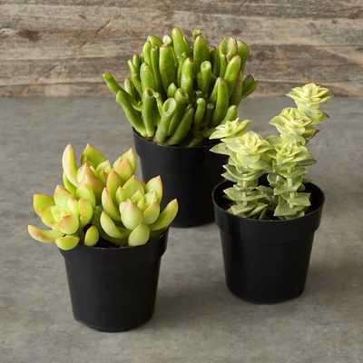 Succulents, Set of 3 - Williams Sonoma