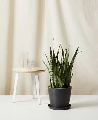 Sansevieria - Charcoal - Bloomscape