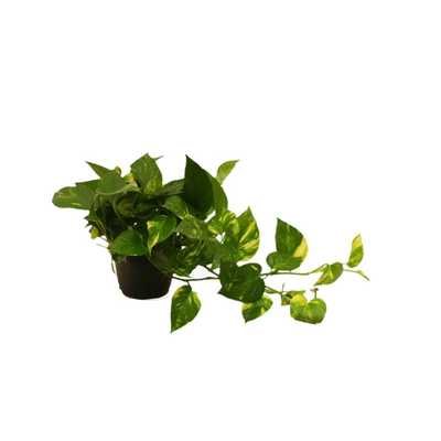 Golden Pothos 6 in. Grower Pot - Home Depot