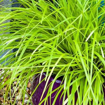2.5 Qt. Evercolor Eversheen Carex, Live Evergreen Grass, Lime Yellow Foliage - Home Depot