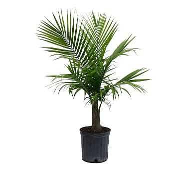 Live Majesty Palm Plant - Pottery Barn