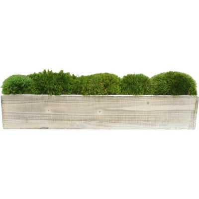 Moss in Planter - Birch Lane