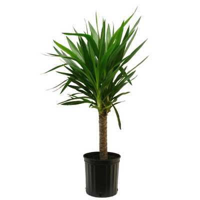 Yucca Cane in 8.75 in. Grower Pot - Home Depot