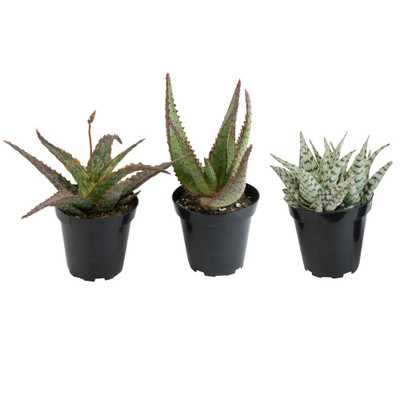 3.5 in. Assorted Aloe Plant (3-Pack) - Home Depot
