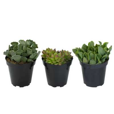 3.5 in. Shades of Green Succulent Collection (3-Pack) - Home Depot