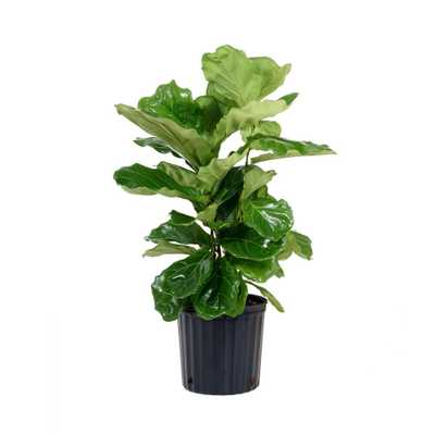 United Nursery Ficus Lyrata Plant in 9.25 in. Grower Pot - Home Depot