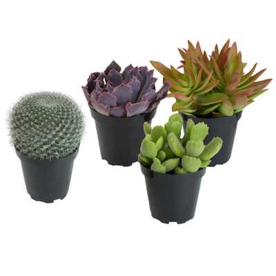 3.5 in. Assorted Cactus and Succulent Plants (3-Pack + 1 Free) - Home Depot
