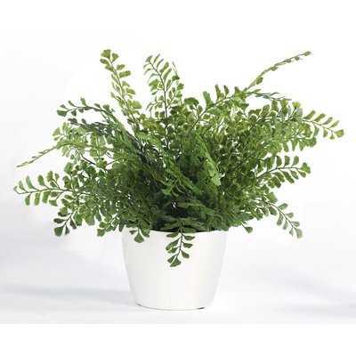 Maiden Hair Fern Foliage Plant in Pot - Wayfair
