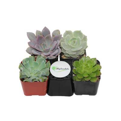 2 in. Rosette Succulent (Collection of 4) - Home Depot