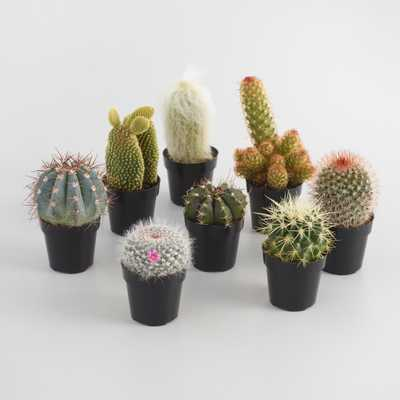 Small Assorted Live Potted Cacti Set of 3 by World Market - World Market/Cost Plus