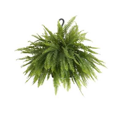United Nursery Boston Fern Plant in 9.25 in. Hanging Basket - Home Depot