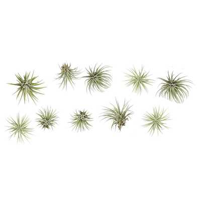 Ionantha Air Plants (10-Pack) - Home Depot