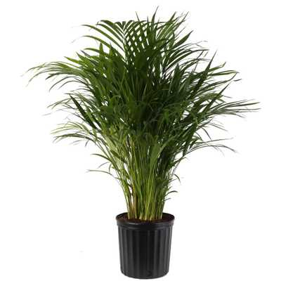 Areca Palm in 9.25 in. Grower Pot - Home Depot