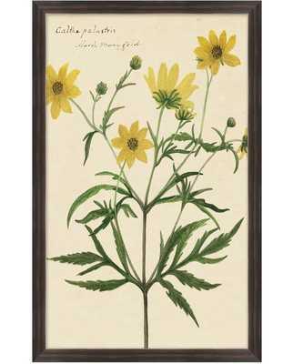 "Reverend's Floral Study, Botanical Prints-Study 4 -Marsh Marogold -16"" x 26""-Framed  (Dark Walnut ) - High Street Market"