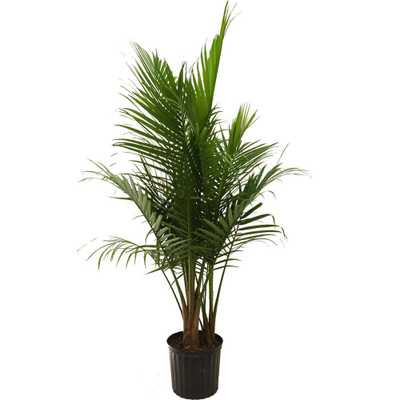 9-1/4 in. Majesty Palm in Pot - Home Depot