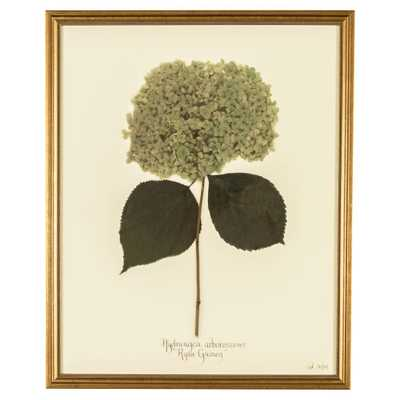 French Hydrangea Arborescens Print Botanical Framed Wall Art - Kathy Kuo Home