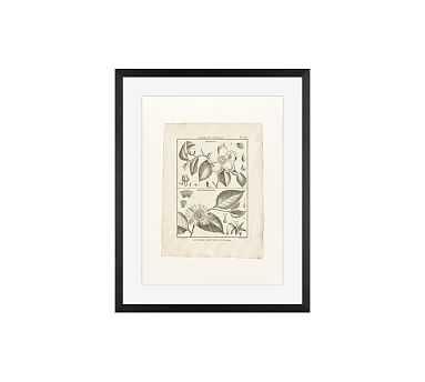 "Botanical Plate 593, 16 x 20"", Wood Gallery, Black, Mat - Pottery Barn"