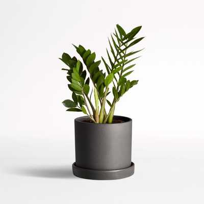Live ZZ Plant in Black Hyde Planter by The Sill - Crate and Barrel