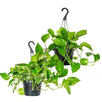 Perfect Plants Golden Pothos Devil's Ivy in 8 in. Hanging Basket (2-Pack) - Home Depot