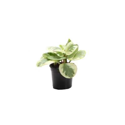 "7"" Thorsen's Greenhouse Live Peperomia Plant - Perigold"