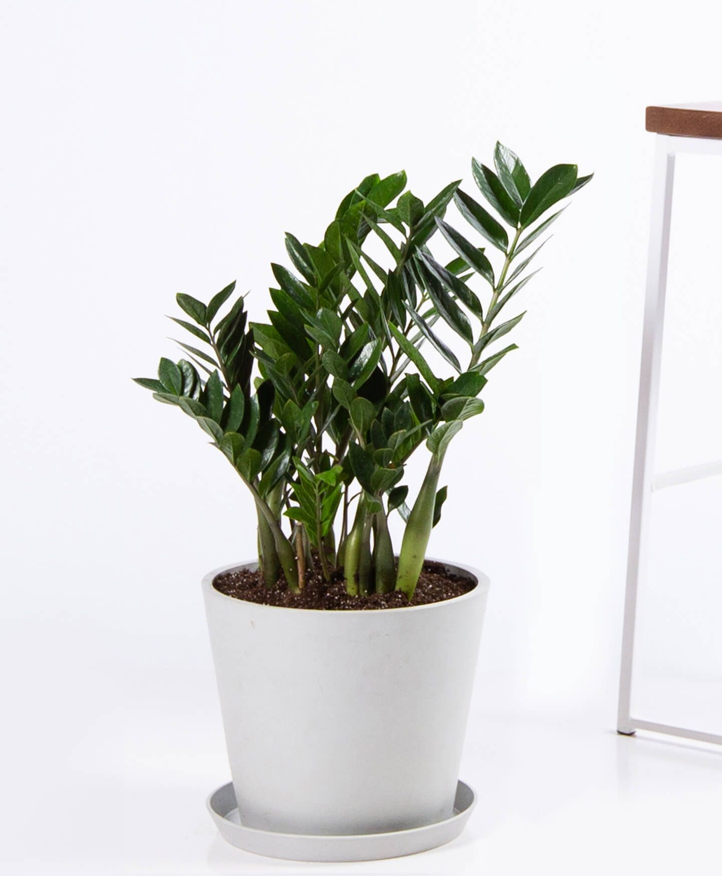 ZZ plant - Stone