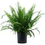 United Nursery Kimberly Fern Plant in 9.25 in. Grower Pot