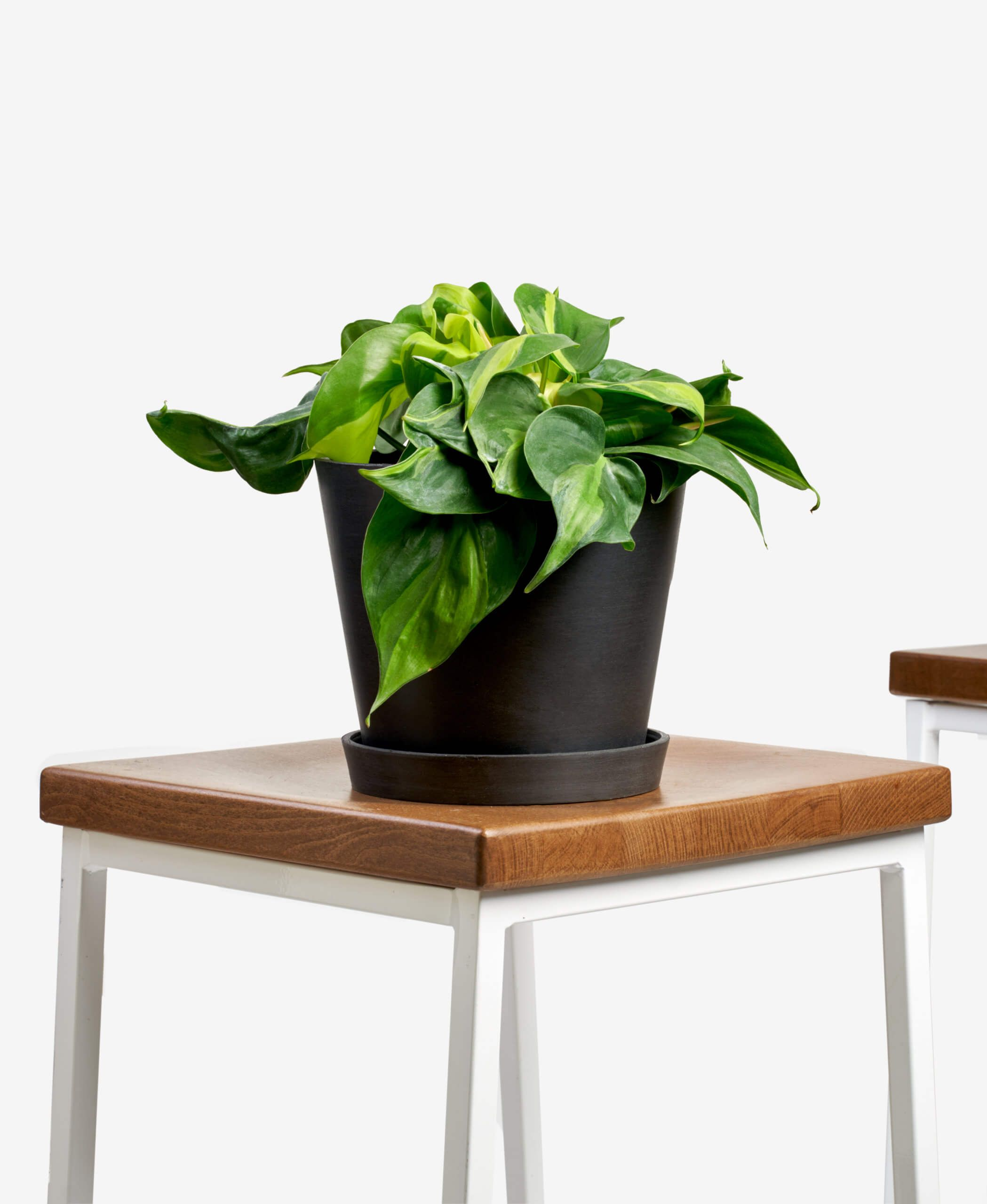 Philodendron brasil - Charcoal