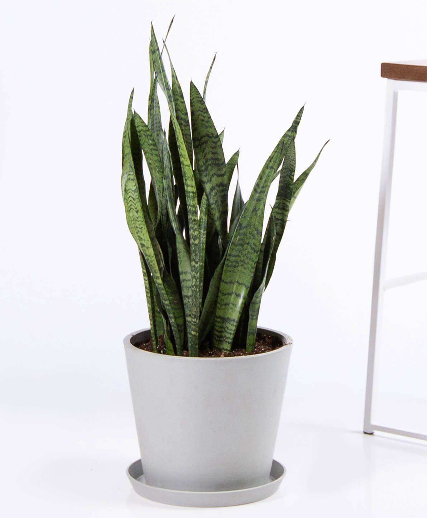 Sansevieria - Stone Pot (live plant)