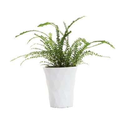 """11"""" Live Fern Plant in Pot"""