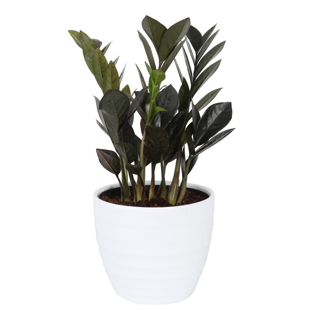 Costa Farms Trending Tropicals Trending Tropicals Raven ZZ Plant in 6 in. Ceramic Pot
