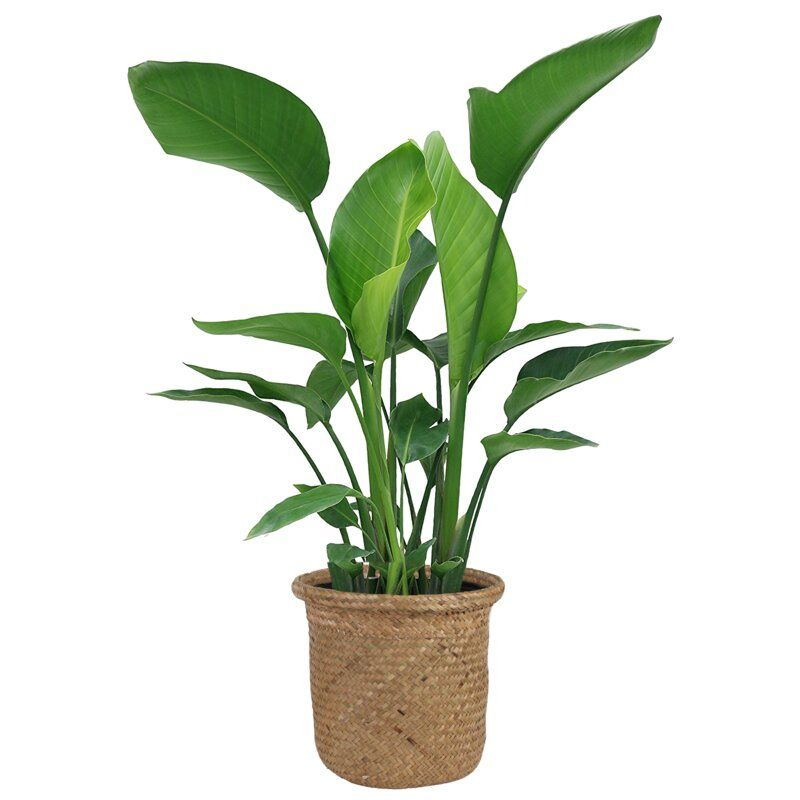 """24"""" Costa Farms Live White Bird of Paradise Plant in Basket"""