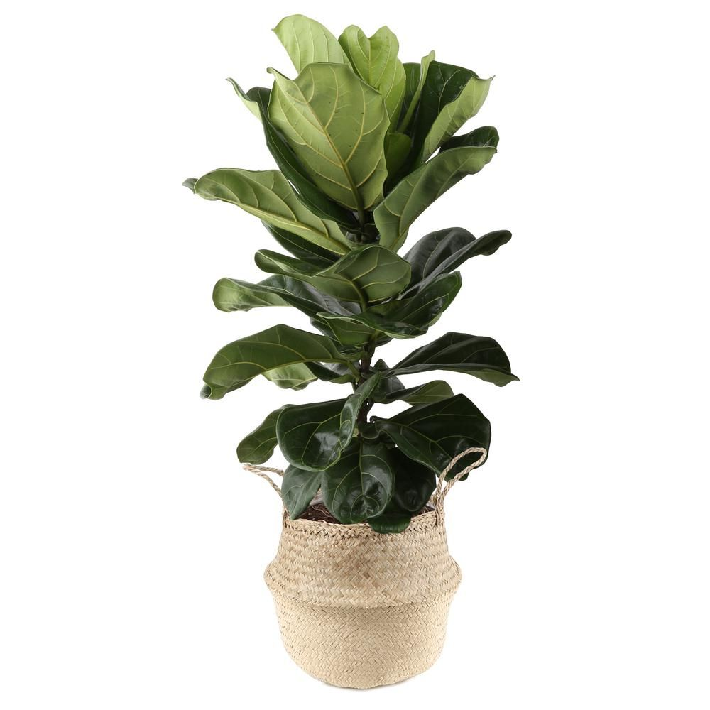 Costa Farms Ficus Lyrata, Fiddle-Leaf Fig Floor Plant in 10 in. Grower Pot in Seagrass White-Natural Basket
